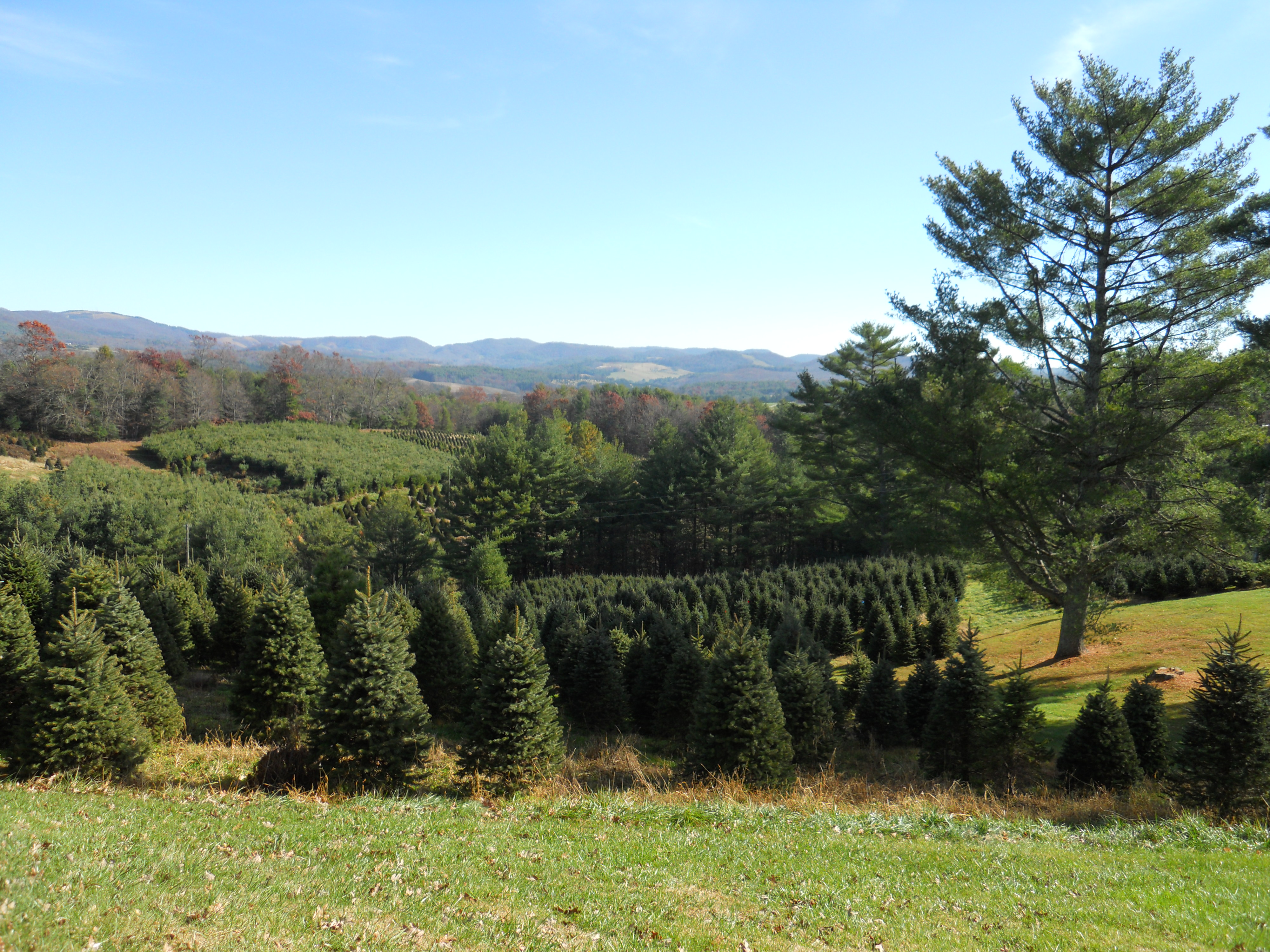 Ty-Lyn Plantation | Choose and cut your Christmas tree in ...